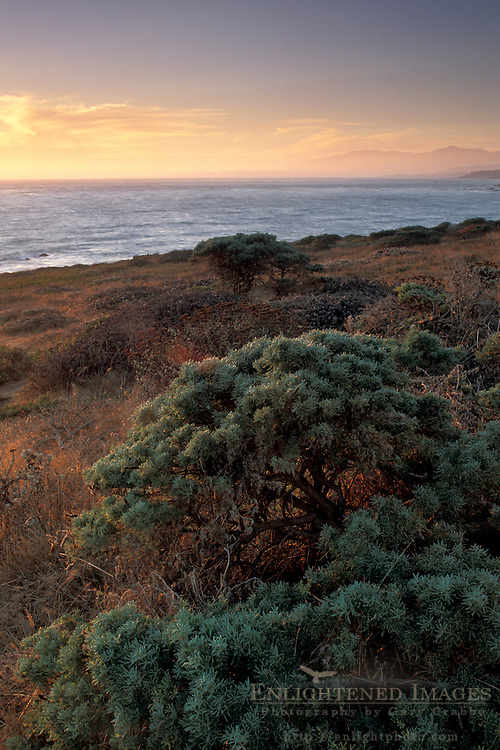 Native plants and grasses on coastal bluffs over the Pacific Ocean, Cambria, California