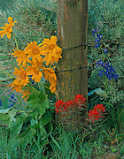 THIS PHOTO IS AVAILABLE FOR WEB DOWNLOAD ONLY. PLEASE CONTACT US FOR A LARGER PHOTO. Idaho. Wildflowers by old fence in the Caribou Mountains Arrowleaf Balsam Root (Balsamorhiza sagitata), Indian Paintbrush Indian Paintbrush (Castillega chromosa), Nuttall's Larkspur (Delphinium nuttallianum).