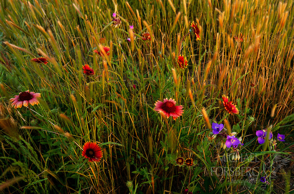 Indian blanket flower, spiderwort and firewheel. Webster County, Nebraska. A beautiful bouquet of native wildflowers accents the prairie grasses of Webster County, Nebraska. Indian Blanket, also known as Firewheel, grow in dense colonies of brilliant red flowers with yellow rims. Native to the central United States, they are hardy, drought tolerant plants that thrive in heat and full sun in well drained soils. Another plant common in the tallgrass prairie is the Spiderwort. Once thought to be a cure for spider bites, this purple flower has arching, grass-like foliage with three petaled flowers and six prominent, yellow stamins. Webster County, Nebraska.