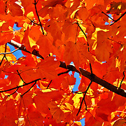 """Maple in Orange""<br />