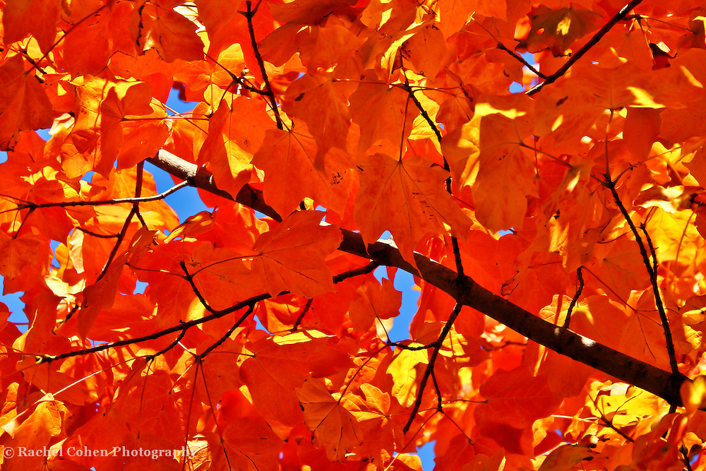 &quot;Maple in Orange&quot;<br />
