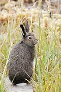 CANADA, Nunavut.Arctic hare (Lepus arcticus) in summer coat