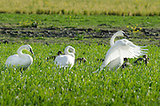 Trumpeter swans and their young out in a farmer's field.