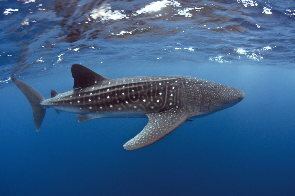 Whale shark off Mexico's Isla Mujeres.