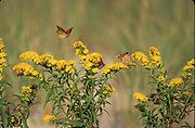 Monarch<br /> Danaus plexippus<br /> nectaring on seaside goldenrod Soidago sempervirens during southward migration<br /> NJ, Cape May County