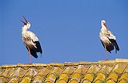 White Stork (Ciconia ciconia). Pair on a house rooftop. Andalucia, Spain.