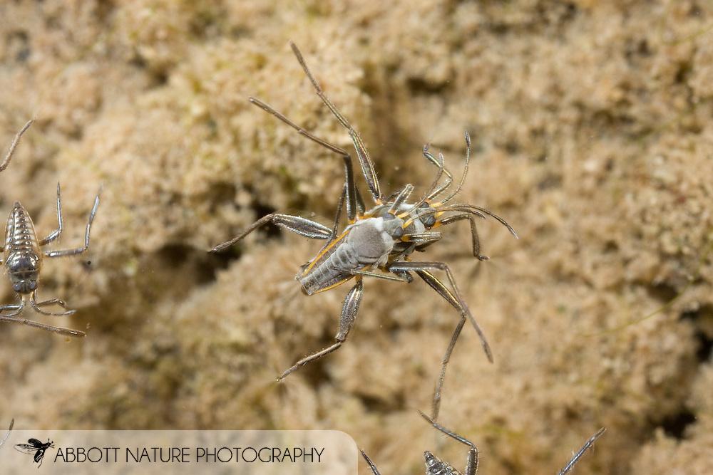 Rhagovelia sp. - Riffle Bugs, Ripple Bugs, Broad-shouldered Water Striders (Arthropoda: Hexapoda: Insecta: Hemiptera: Heteroptera: Veliidae)<br /> TEXAS: Travis Co.<br /> Little Barton Creek<br /> Bee Caves<br /> 19-Oct-2008<br /> J.C. Abbott