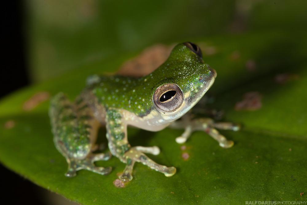 Frog (Rhacophorus kajau, White-eared Tree Frog) at a small stream in Ulu Temburong, Brunei (Borneo)