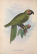 Palaeornis Modestus (Long-tailed Parakeet) from Zoologia typica; or, Figures of new and rare animals and birds described in the proceedings, or exhibited in the collections of the Zoological Society of London. By Fraser, Louis. Zoological Society of London. Published London, March 1847