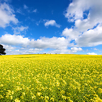 Canola field in bright light and broken clouds on the Bellarine Peninsula near Geelong, Victoria, Australia.