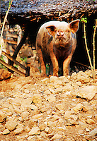 A curious pig in the village of Sumeh, Bali, Indonesia.
