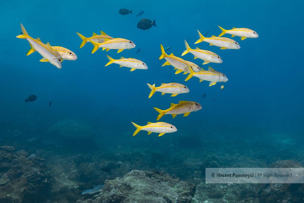 Yellowtail snapper-Vivaneau queue jaune (Ocyurus chrysurus), Nusa Penida island, Bali, Indonesia.