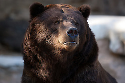 19 October 2010: Grizzly Bear. St. Louis Zoo, St. Louis Missouri