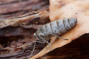 Fall Cankerworm Moth; Alsophila pometaria; wingless female; PA, Philadelphia, Fairmount Park, Carpenter's Woods;