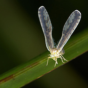Derbidae sp., of the super family Fulgoroidea. Huai Kha Khaeng Wildlife Sanctuary, Thailand.