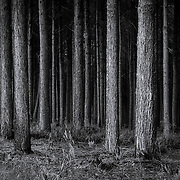 Dark forest with tree trunks, in black and white.