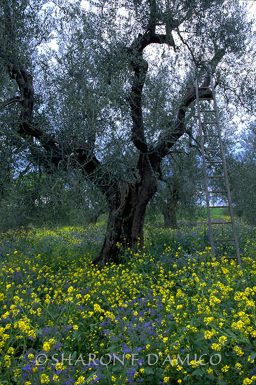 Olive Tree and Ladder Amidst Yellow and Blue Spring Flowers