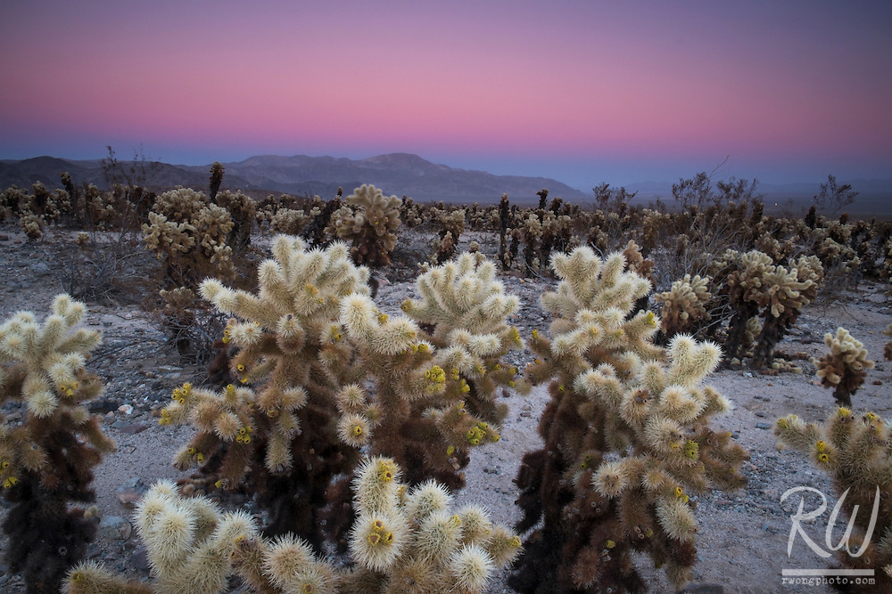 Cholla Cactus Garden Earth Shadow at Dusk, Joshua Tree National Park, California