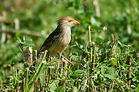Guira Cuckoo (Guira guira) on ground, Araras Ecolodge,  Mato Grosso, Brazil (Photo: Peter Llewellyn)