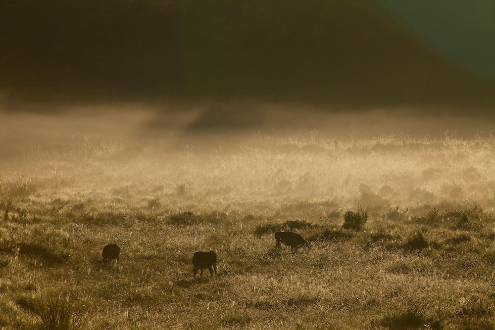 Patos de Minas_MG, Brasil..Criacao de gado em pastagem de Patos de Minas, Minas Gerais...Livestock grazing in Patos de Minas, Minas Gerais...Foto: LEO DRUMOND / NITRO