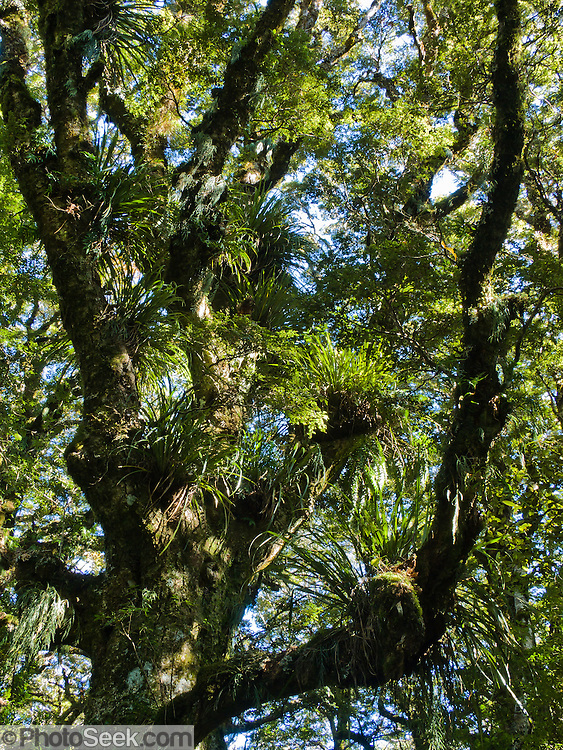 Epiphytic plants on a beech tree in Te Urewera National Park, North Island, New Zealand