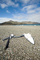 Blue shark carcass on the beach at a shark fin fishing camp in Magdalena Bay, Baja, Mexico.
