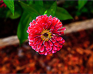 A red Zinnia flower viewed from above in a garden. WATERMARKS WILL NOT APPEAR ON PRINTS OR LICENSED IMAGES.
