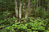 Northern hardwood-hemlock-white pine deciduous forest. Pictured Rocks National Lakeshore Michigan
