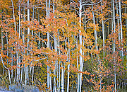 Autumn Aspen Portrait, Hope Valley, California