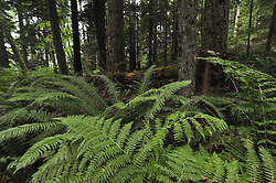 Second-Growth Forest,  Tiger Mountain, Central Cascades, Washington, US