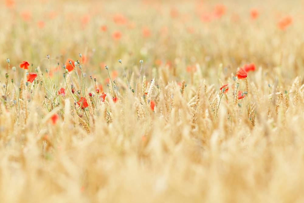 weed and poppies, Ravel
