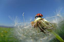 The harlequin ladybird (Harmonia axyridis) is an invasive species throughout North America, northwestern Europe and lately (since 2004) also in the UK. | Asiatischer Marienkäfer (Harmonia axyridis) auf Löwenzahn (Taraxacum officinale) Der Asiatische Marienkäfer (Harmonia axyridis) ist ein Käfer (Coleoptera) aus der Familie der Marienkäfer (Coccinellidae). Er wird auch als Vielfarbiger Marienkäfer oder Harlekin-Marienkäfer bezeichnet. Ursprünglich kommt der Asiatische Marienkäfer aus Japan und China. Er wurde Ende des 20. Jahrhunderts zunächst in die USA und dann auch nach Europa eingeführt, wo man ihn auch heute noch zur biologischen Schädlingsbekämpfung erwerben kann. Inzwischen tritt er an vielen Stellen massenhaft wild auf und man befürchtet, dass er einheimische Marienkäfer-Arten verdrängt.