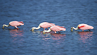 Four Roseate Spoonbills Feeding in a Mangrove Pond. Merritt Island National Wildlife Refuge in Florida. Image taken with a Nikon D800 camera and 400 mm f/2.8 VR lens (ISO 100, 400 mm, f/4, 1/3200 sec).