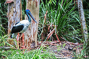 Black-necked stork, also known as a jabiru in Australia.