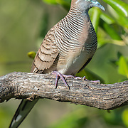 The zebra dove (Geopelia striata) also known as barred ground dove, is a bird of the dove family Columbidae, native to Southeast