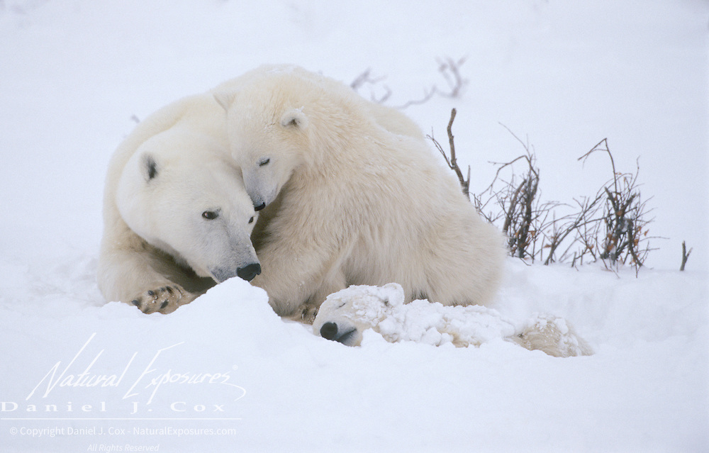 Polar Bear (Ursus maritimus) mother and cub lay near a dead cub. Cape Churchill, Manitoba, Canada