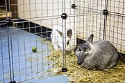 Prison rabbits. Pet therapy, used as a natural holistic therapy for prisoners. Beaufort House, a skill development unit for enhanced prisoners. Part of HMP/YOI Portland, a resettlement prison with a capacity for 530 prisoners.Dorset, United Kingdom.