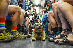 "© Licensed to London News Pictures. 12/01/2020. LONDON, UK. Mabel the Border Terrier joins participants taking part in ""No Trousers On The Tube Day"".  Now in its 11th year, the annual event sees hundreds of riders travel on the tube without wearing trousers.  Similar rides are taking place worldwide under the umbrella of ""No Pants Subway Ride"", which launched in New York in 2002.  Photo credit: Stephen Chung/LNP"