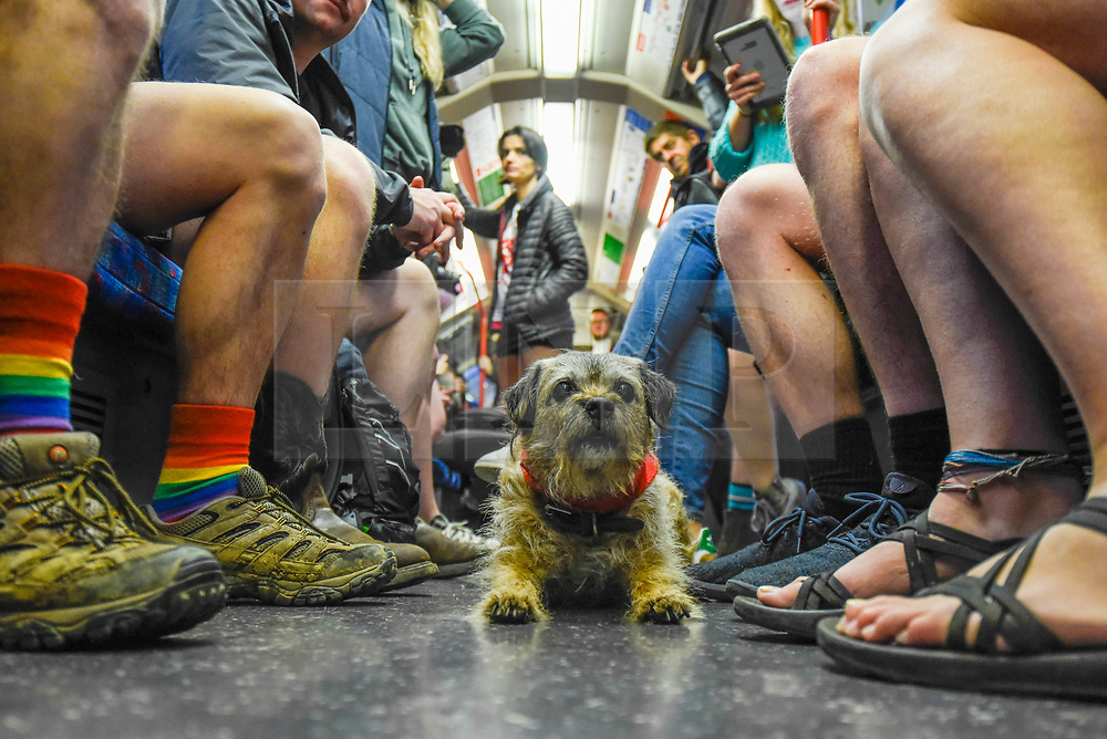 """© Licensed to London News Pictures. 12/01/2020. LONDON, UK. Mabel the Border Terrier joins participants taking part in """"No Trousers On The Tube Day"""".  Now in its 11th year, the annual event sees hundreds of riders travel on the tube without wearing trousers.  Similar rides are taking place worldwide under the umbrella of """"No Pants Subway Ride"""", which launched in New York in 2002.  Photo credit: Stephen Chung/LNP"""