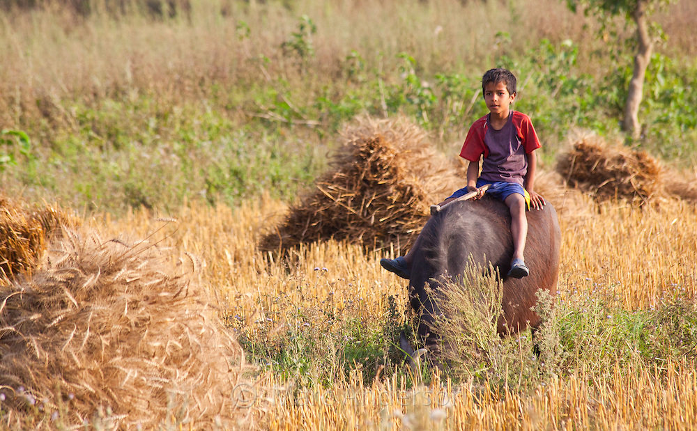 Nepali boy sitting on a buffalo, Bardiya, Nepal