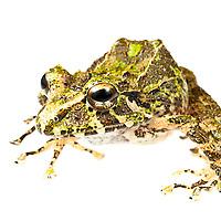 Spiny green frog, Eleutherodactylus nortoni, from Morne Pangnol, Haiti