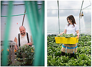 John Tibbets at his family farm in Lyman, Maine, and Hannah Semler of Healthy Acadia gleaning spinch at Four Seasons Farm in Harborside, Maine.