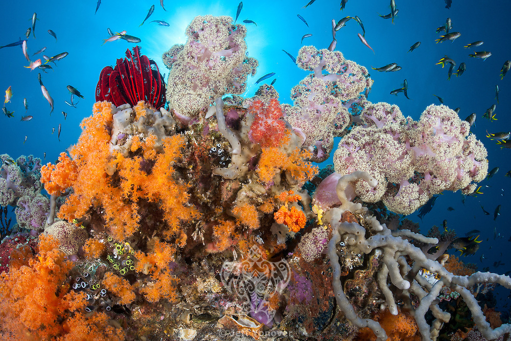 Colorful Soft Corals, Sponges, and Reef fishes.<br /> <br /> Shot in Indonesia