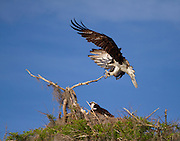 An Osprey making a percision landing on a small limb from a cypress tree. Blue Cypress Lake, Florida.