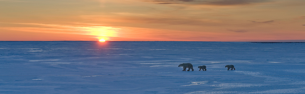 A polar bear mother and her cubs make their way across a frozen lake near Cape Churchill, Manitoba, Canada.