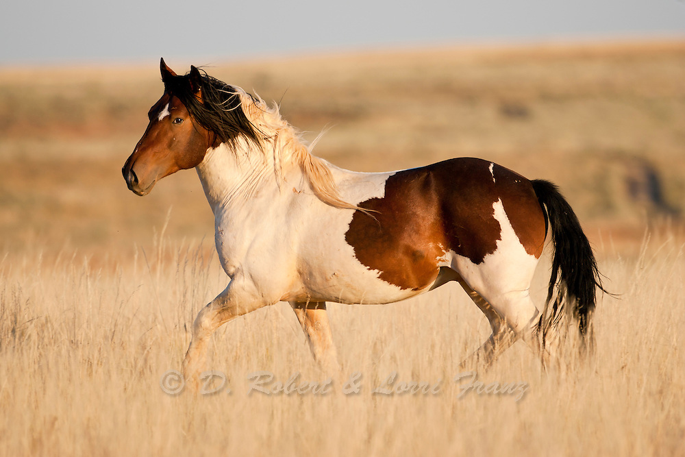 A paint wild mustang band stallion in Northwest Wyoming