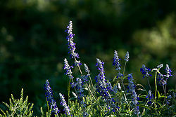 Stock photo of a group of tall blue wildflowers in the Texas Hill Country
