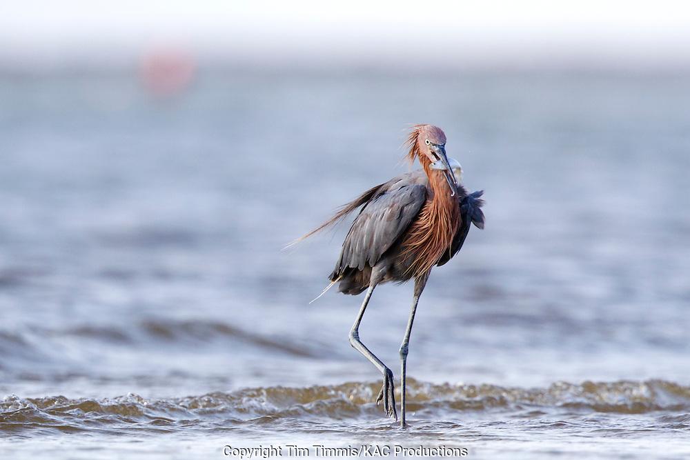 Reddish Egret, Egretta rufescens, Bolivar Flats, Texas gulf coast, catching fish, raised leg