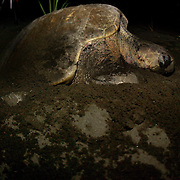 Sea Turtle nesting season in Cane Island. Los Santos, Panama