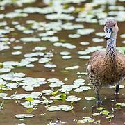 Brown Duck at the Queen Elizabeth II Botanic Park. Grand Cayman Island.